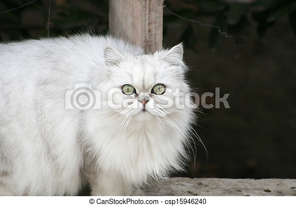 Persian Cat on a Ledge - csp15946240