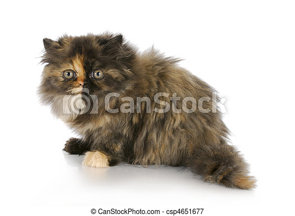 persian kitten - csp4651677