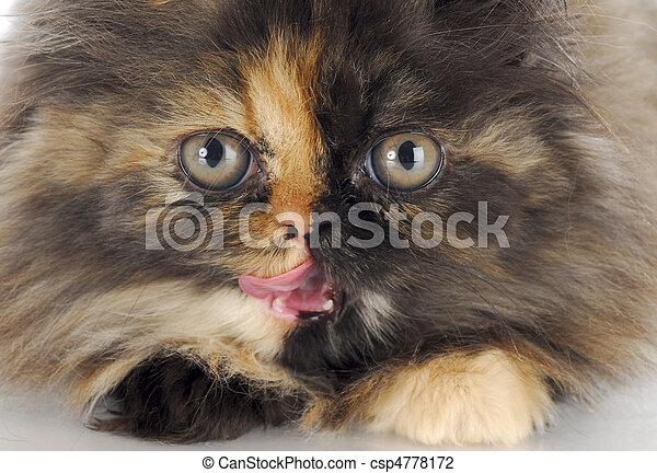 persian kitten - csp4778172