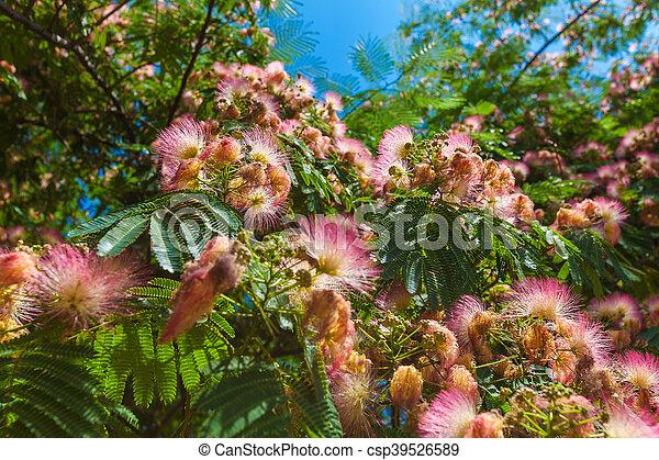 Persian silk tree albizia julibrissin flowers in thessaloniki persian silk tree albizia julibrissin flowers csp39526589 mightylinksfo