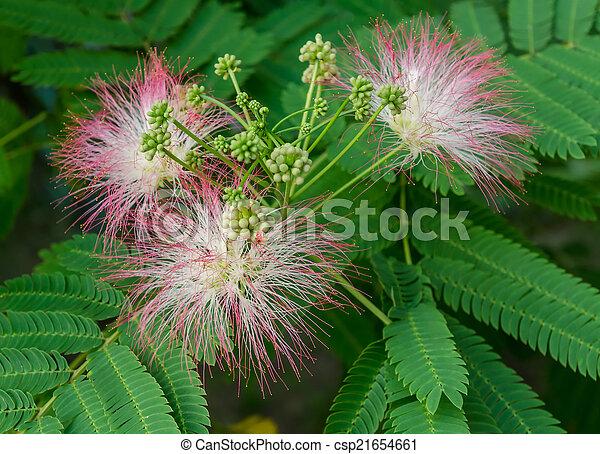 Persian silk tree bloom closeup of persian silk tree albizia persian silk tree bloom csp21654661 mightylinksfo