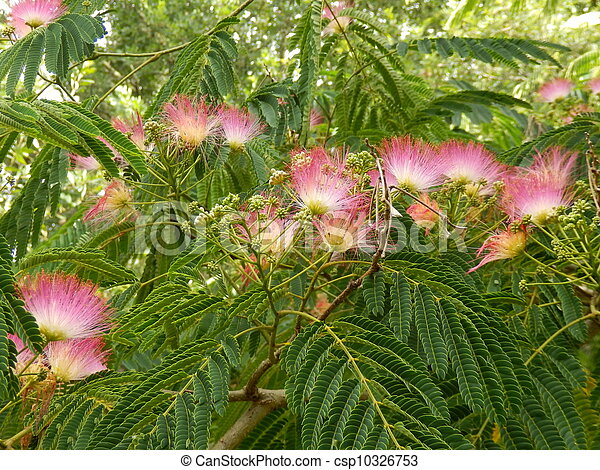 Persian silk tree flowers persian silk tree or mimosa flowers aka persian silk tree flowers csp10326753 mightylinksfo