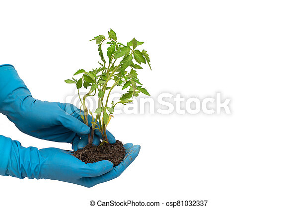 Person in blue gloves holds tomato plant with soil isolated on white background - csp81032337