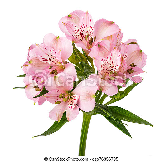 Peruvian Lily Alstroemeria Isolated On White Background