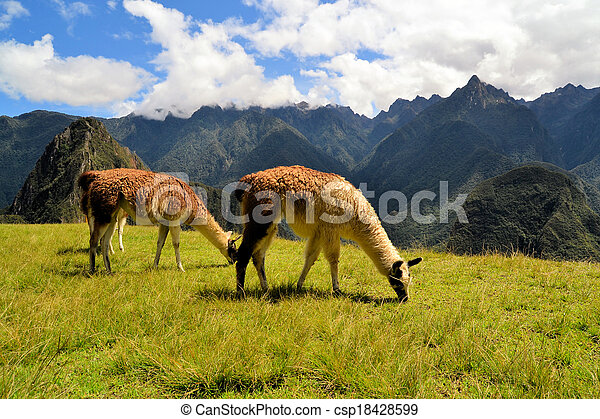 peruwiański, góry, andy, lamy, para - csp18428599