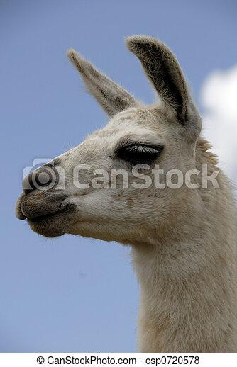 peruwiański, lama - csp0720578