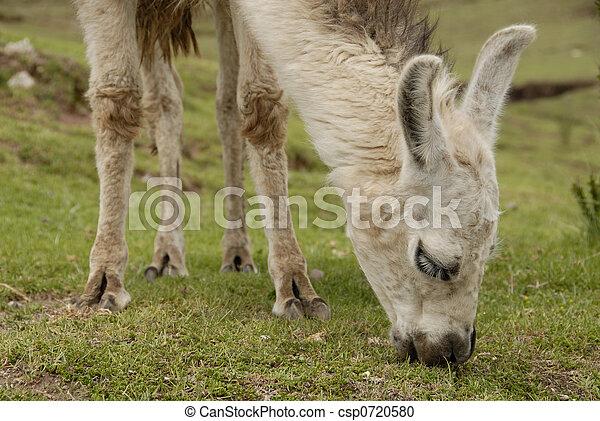 peruwiański, lama - csp0720580