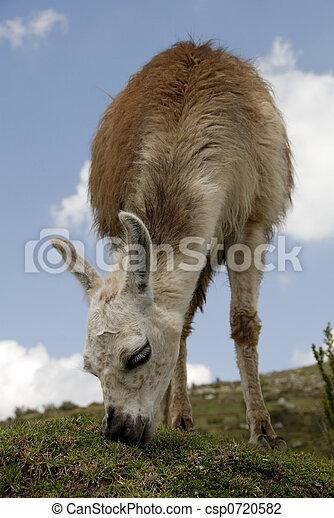 peruwiański, lama - csp0720582