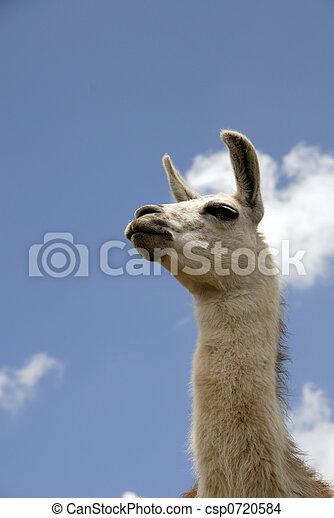peruwiański, lama - csp0720584