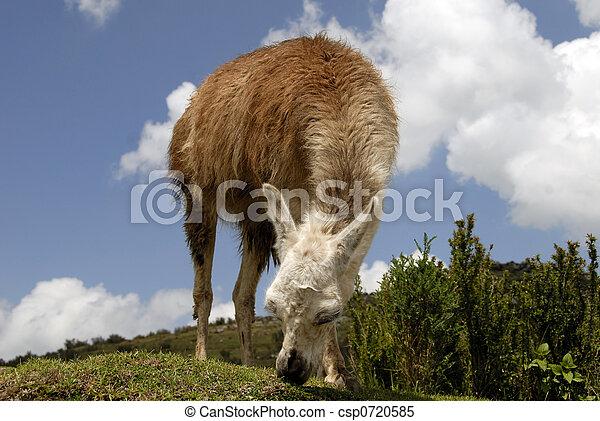 peruwiański, lama - csp0720585