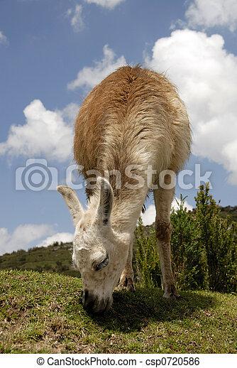 peruwiański, lama - csp0720586