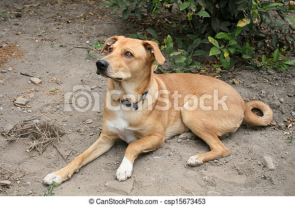 Pet Brown Dog in a Garden - csp15673453