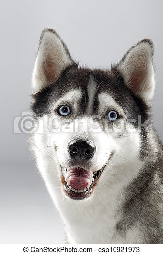 pet dog smiling to camera - csp10921973