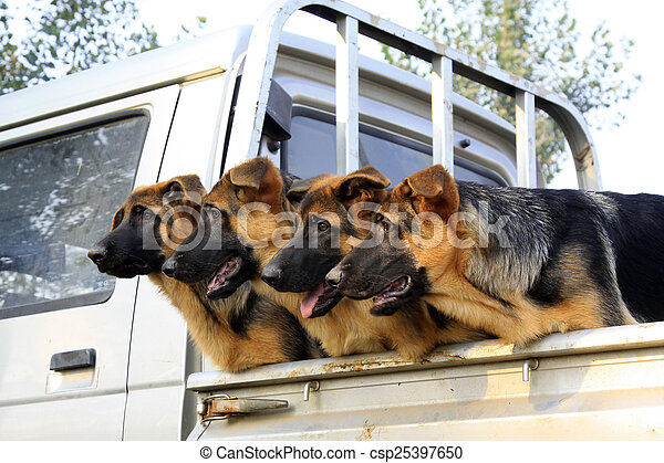 pet dogs in the car compartment - csp25397650
