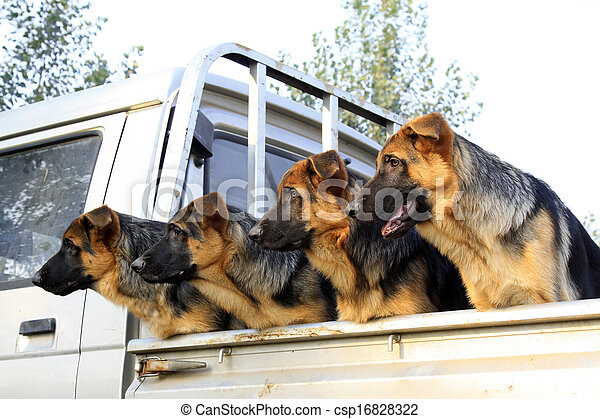 pet dogs in the car compartment - csp16828322