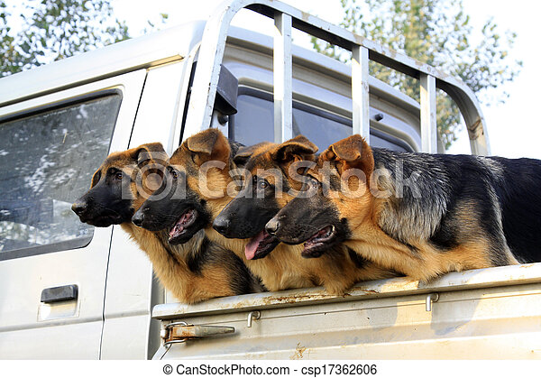 pet dogs in the car compartment - csp17362606
