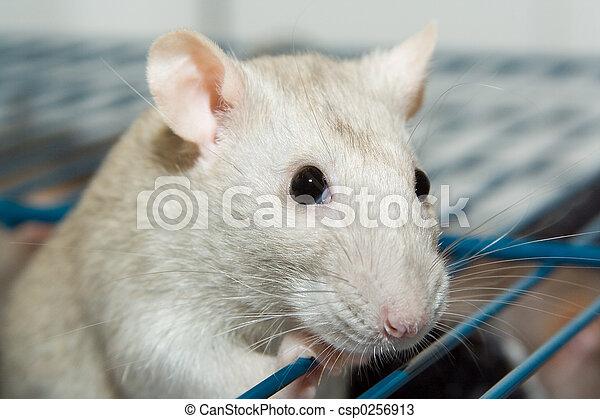 Pet Rat - csp0256913
