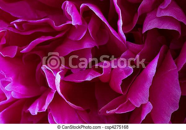 petali, peonia - csp4275168