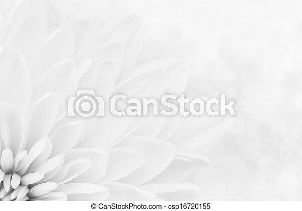 petals, krysantemum, vit, skott, makro - csp16720155