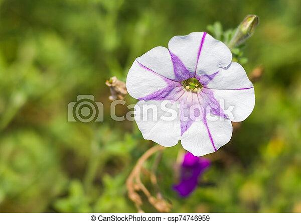 Petunia flower in a garden at summer sunny day - csp74746959