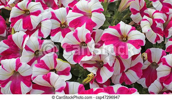Petunia Primavera Fiori Bianchi Fucsia Sfondi Fiori Primavera