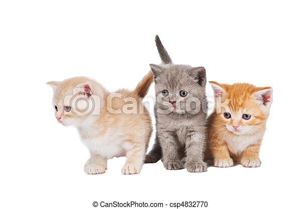 peu, chat, shorthair, britannique, chatons - csp4832770