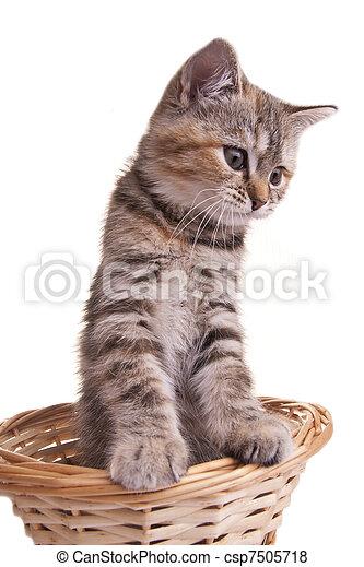 peu, chouchou, chat, chaton, blanc, gentil - csp7505718