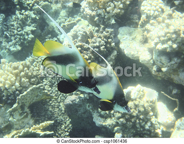 Pescado coral - csp1061436