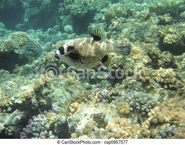 Pescado coral - csp0957577