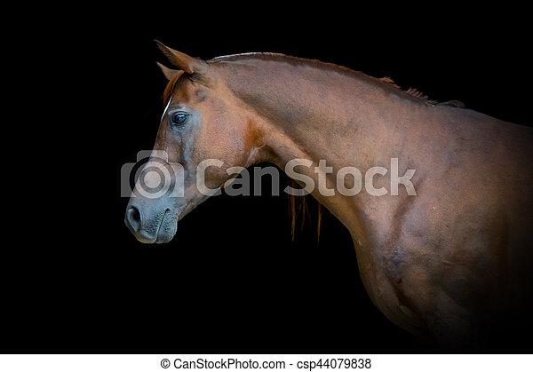 Arabischer Pferdeporträt auf schwarzem Hintergrund - csp44079838
