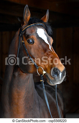 pferd, hengst, -, dunkler hintergrund, züchter - csp5568220