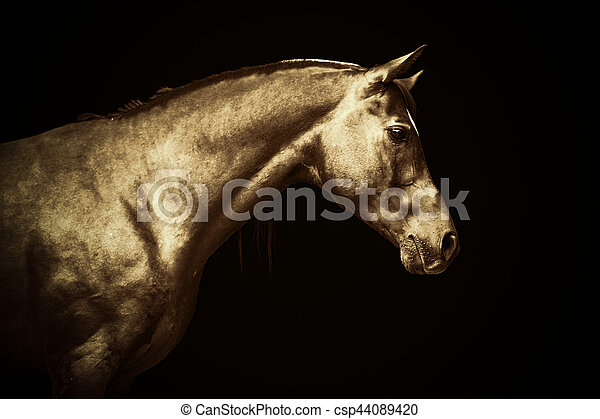 Arabisches Goldpferd-Portrait auf schwarzem Hintergrund, farbige Kunst - csp44089420