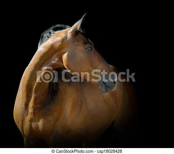 Bay Horse auf schwarz - csp18028428