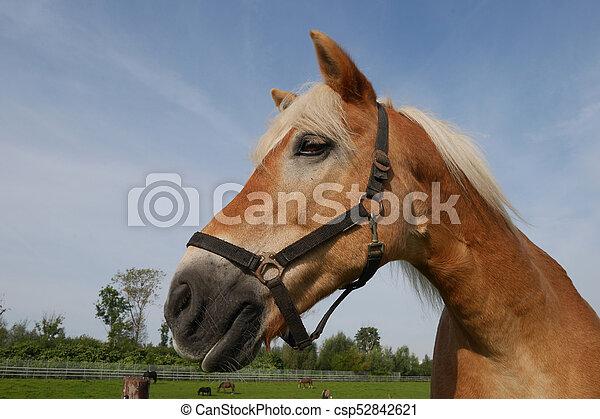 pferd - csp52842621