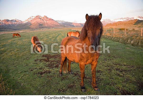 Isländische Pferde - csp1784023