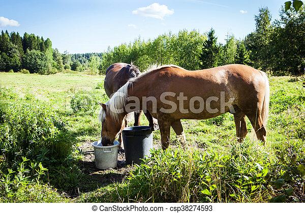 pferden, sommer, finnland, feld, tag, viel, weiden, grün - csp38274593