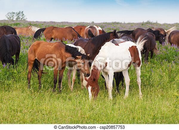 pferden, sommer, wiese, weiden lassen, herde, früher morgen - csp20857753