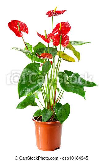 Pflanze, blühen, blumentopf, freigestellt, weisse blumen, anthurium ...