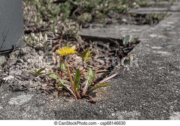 pflanze, lã¶wenzahn, bürgersteig, zwischen, grows, platten - csp68146630