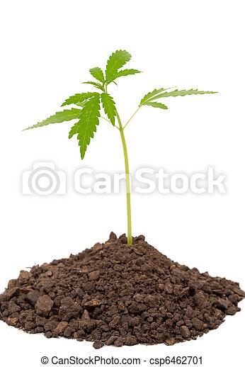 pflanze, marihuana - csp6462701