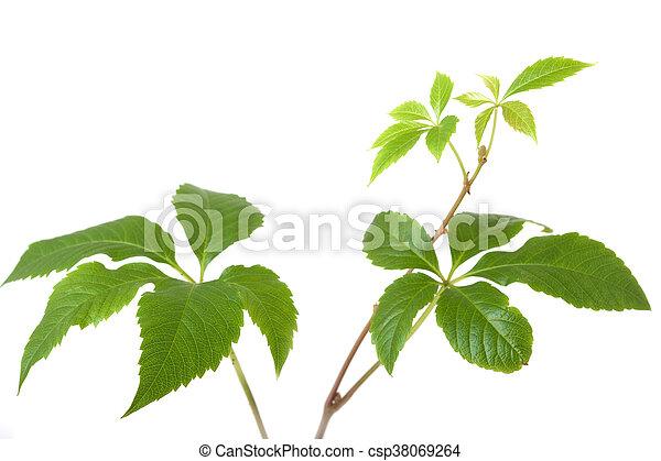 Pflanze, zweige, baum, blätter, rebe, freigestellt, oder ...