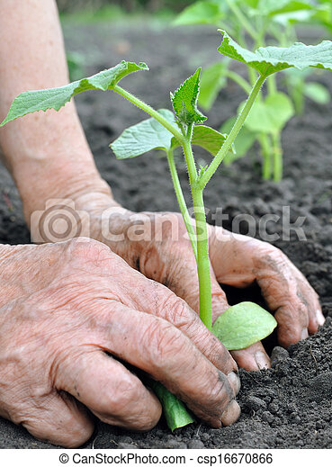 pflanzen, ältere frau, gurke, setzling - csp16670866