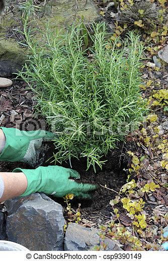 Pflanzen Busch Rosmarin Pflanzen Ungefähr Rosmarin Lauge