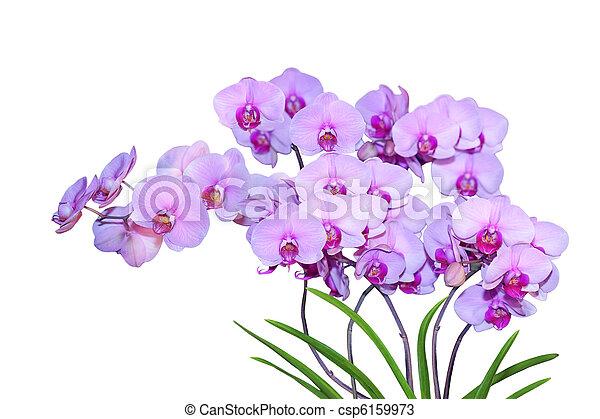 Phalaenopsis Ho's Happy Auckland - csp6159973
