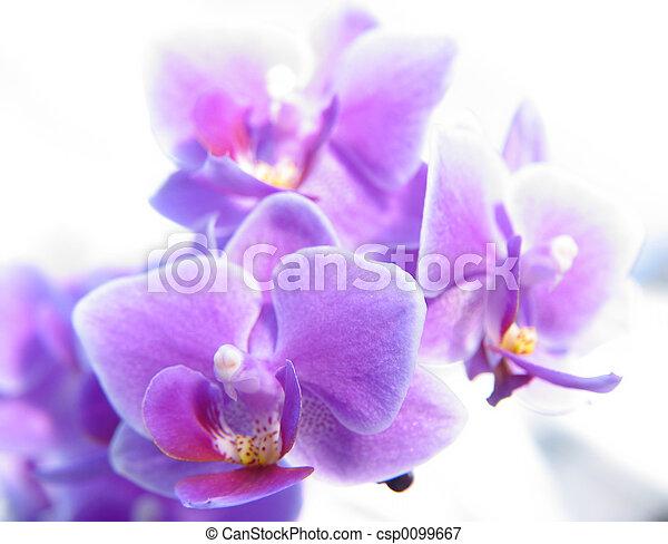phalaenopsis, orchidée - csp0099667
