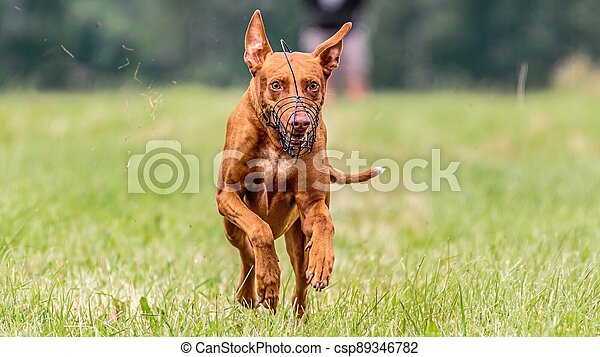 Pharaoh Hound dog running in the field on competition - csp89346782