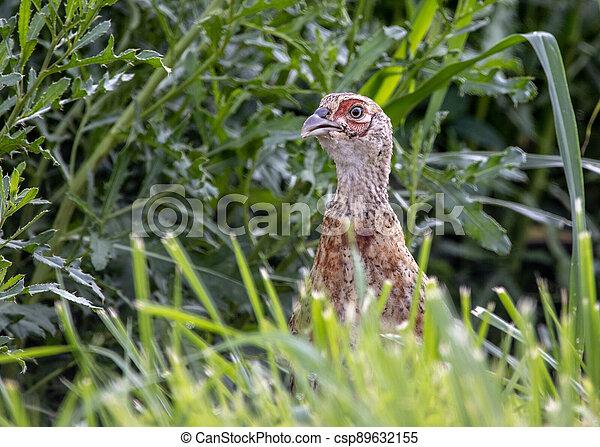 Pheasant in the Wild - csp89632155