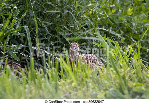 Pheasant in the Wild - csp89632047