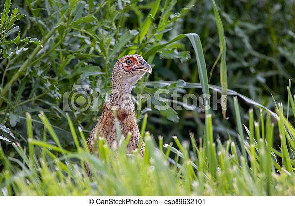 Pheasant in the Wild - csp89632101