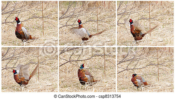 Pheasant mating dance collage. - csp8313754